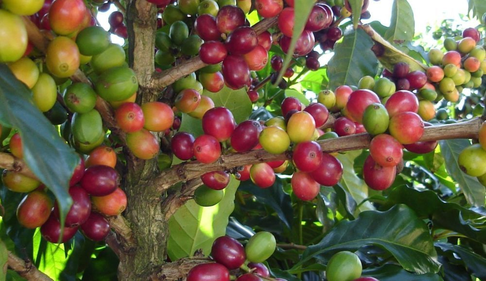 Coffee cherries ripening on the plant.